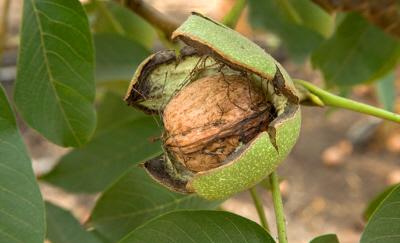 florais_plantas_walnut